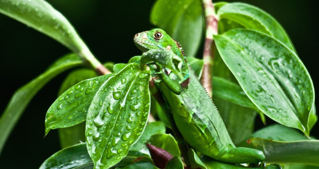 A green lizard hides in green leaves that are covered in water droplets