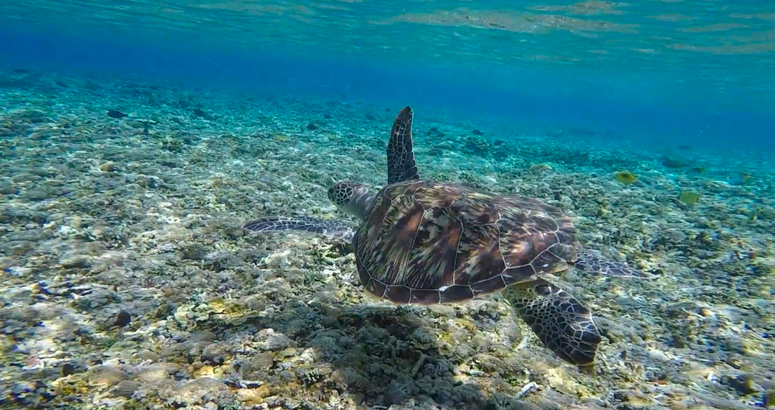 Turtle swimming in turquoise waters