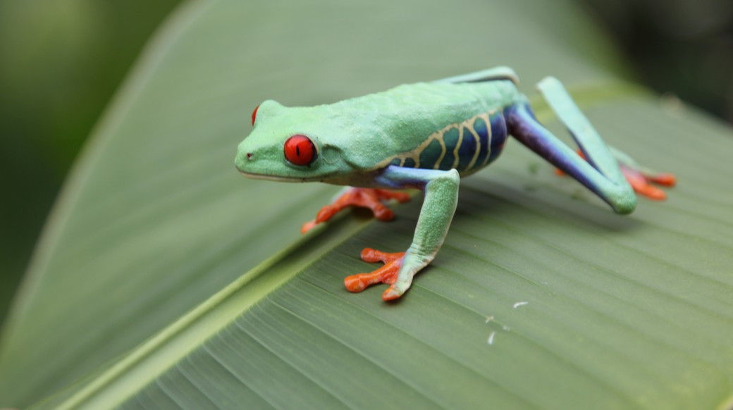 Green tree frog on a leaf in costa rica