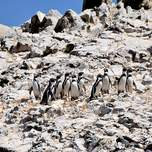 Penguins at Ballesta Islands in Peru