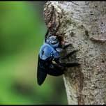 bluebug.jpg