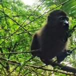 A baby howler monkey sitting in a tree.