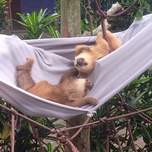Two sloths hanging out on a hammock.