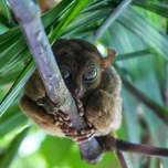 A wide-eyed tarsier perched in a tree.
