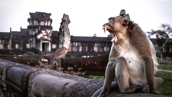 A monkey bares its teeth in a huge yawn in front of a Cambodian temple.