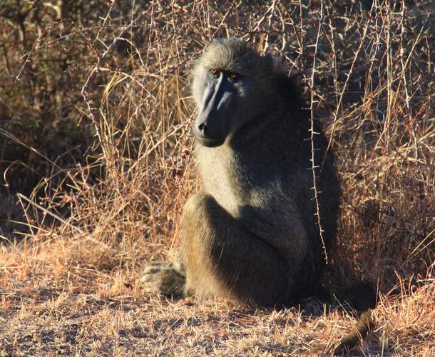 baboon south africa wildlife safari