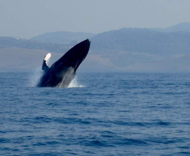 whale breaching south africa